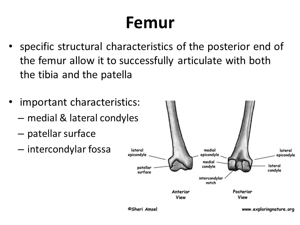 Femur specific structural characteristics of the posterior end of the femur allow it to successfully articulate with both the tibia and the patella.