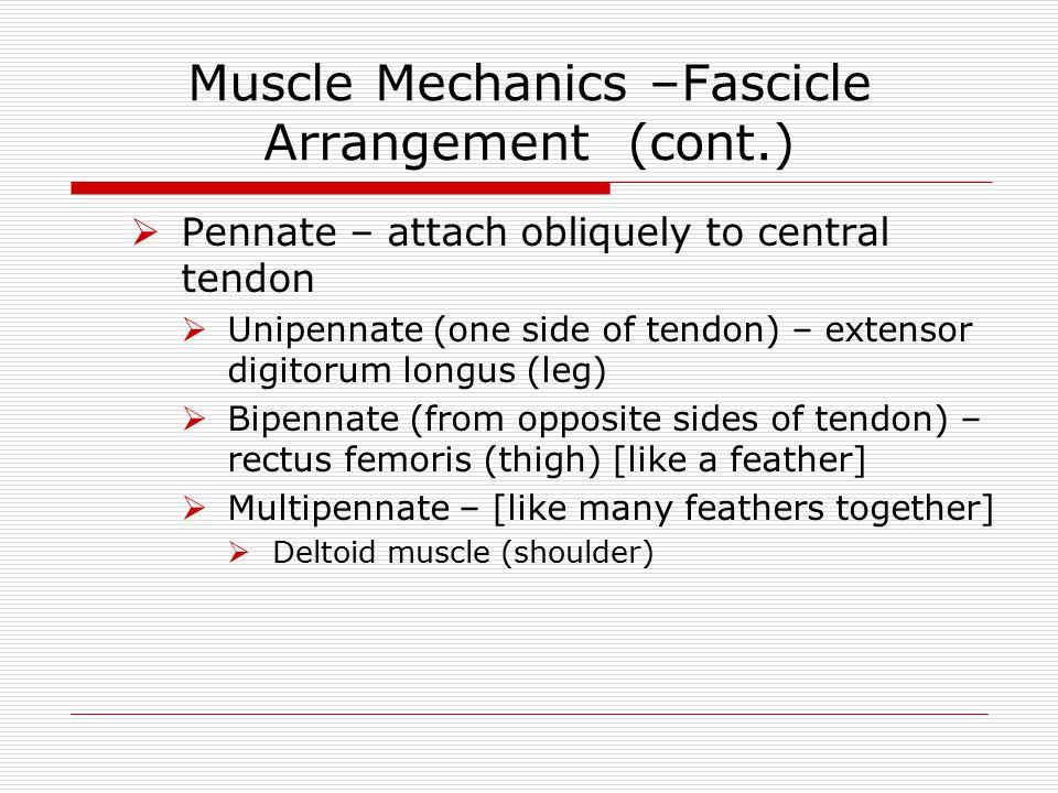 Muscle Mechanics –Fascicle Arrangement (cont.)