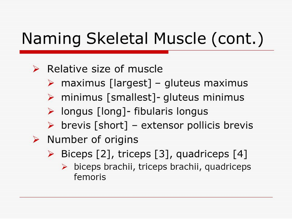 Naming Skeletal Muscle (cont.)