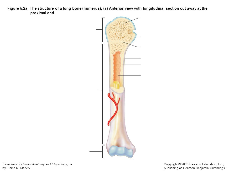 Figure 5. 2a The structure of a long bone (humerus)