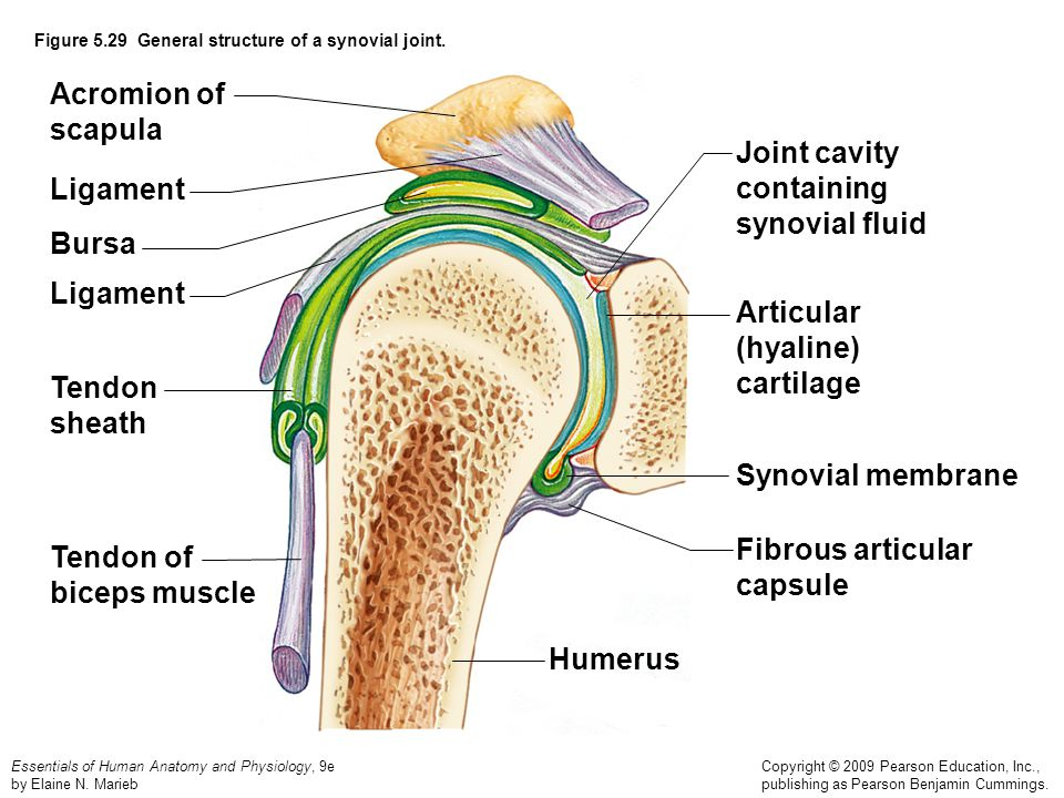 Figure 5.29 General structure of a synovial joint.