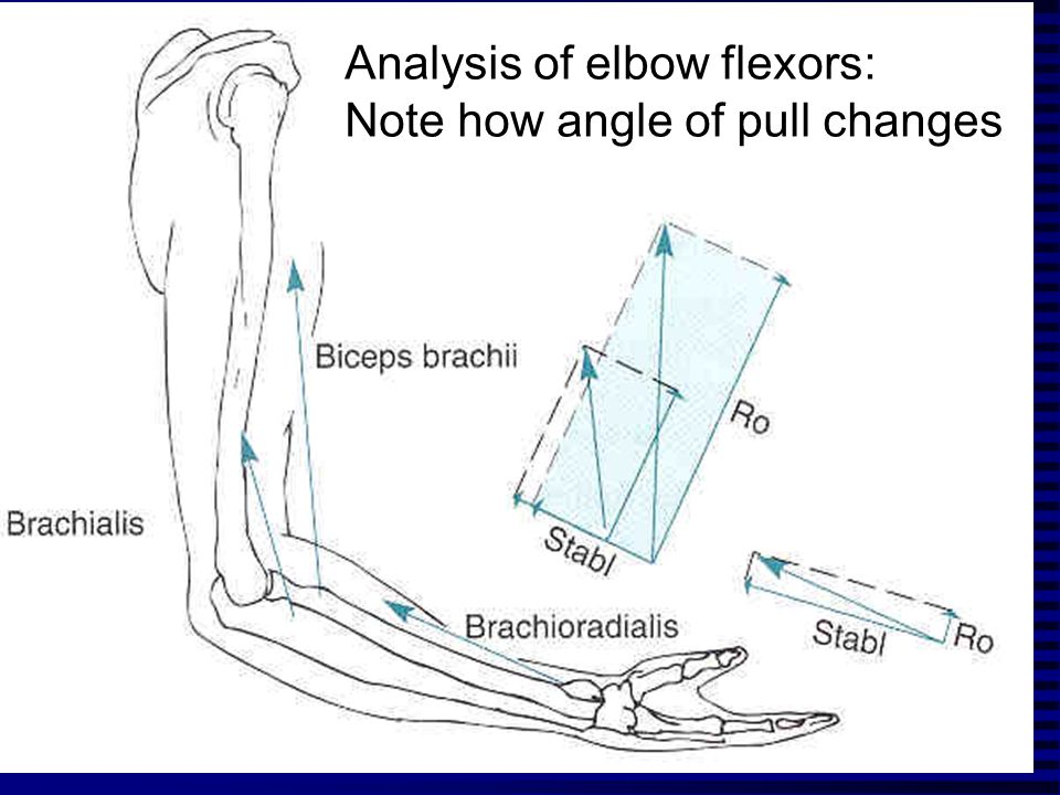 Analysis of elbow flexors: