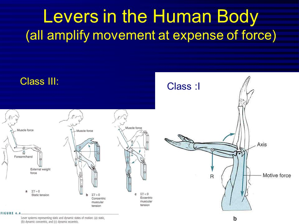 Levers in the Human Body (all amplify movement at expense of force)
