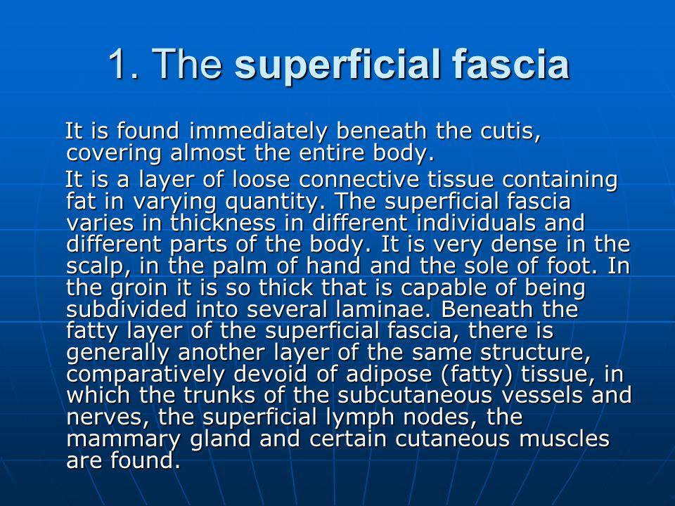 1. The superficial fascia