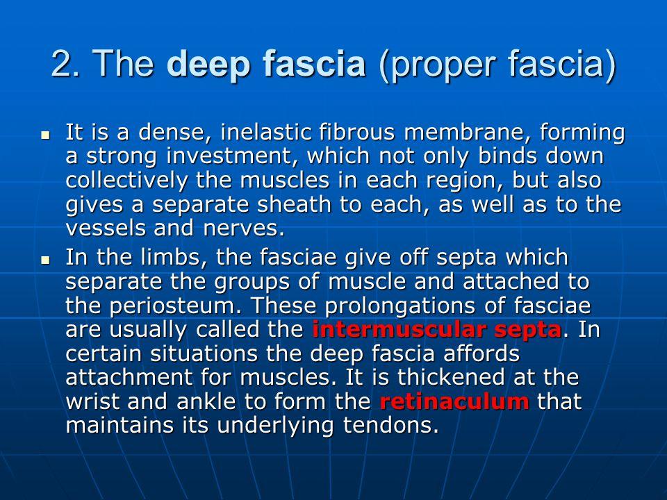2. The deep fascia (proper fascia)