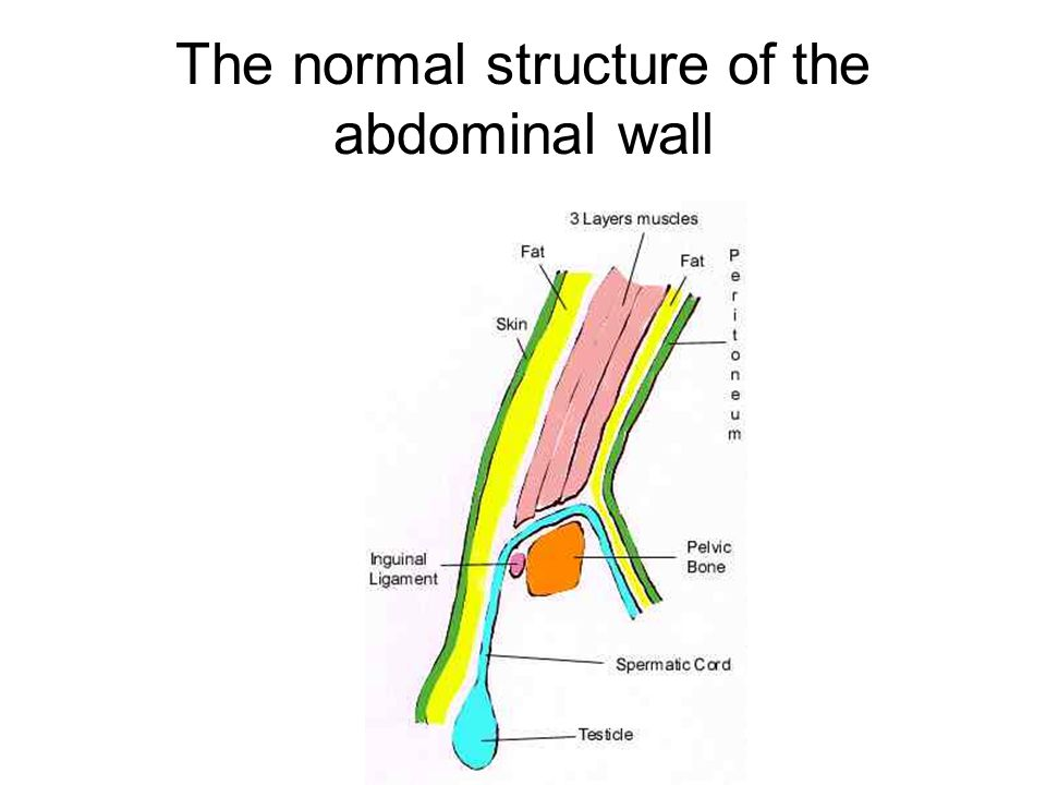 The normal structure of the abdominal wall