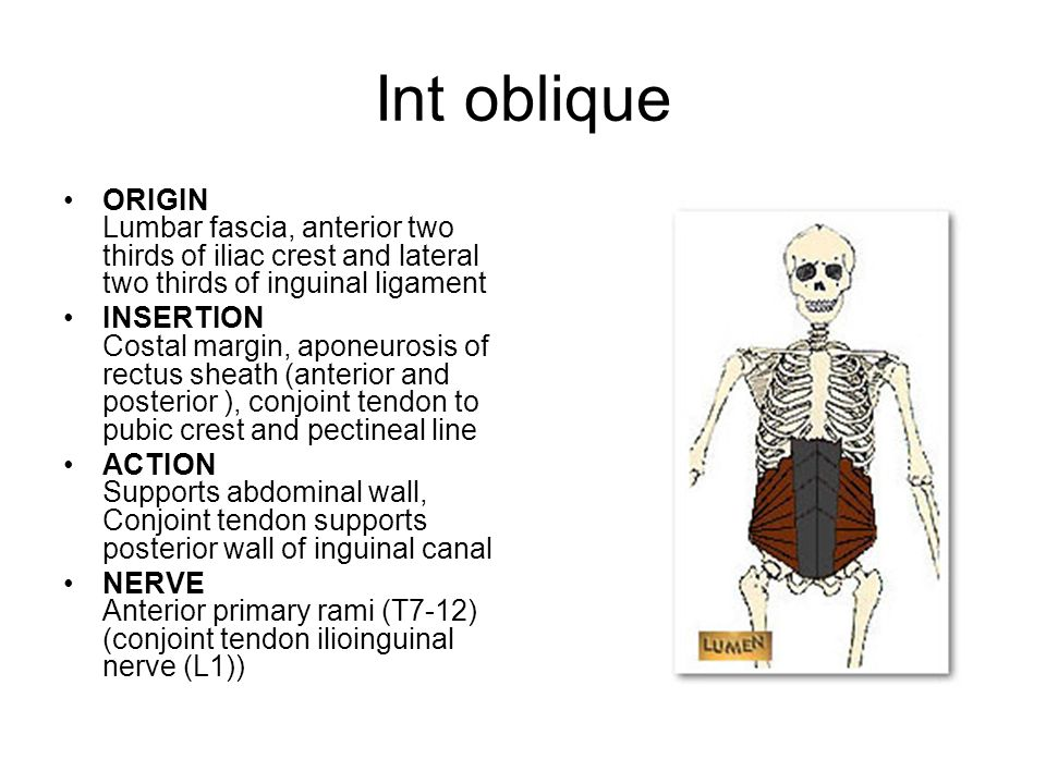 Int oblique ORIGIN Lumbar fascia, anterior two thirds of iliac crest and lateral two thirds of inguinal ligament.