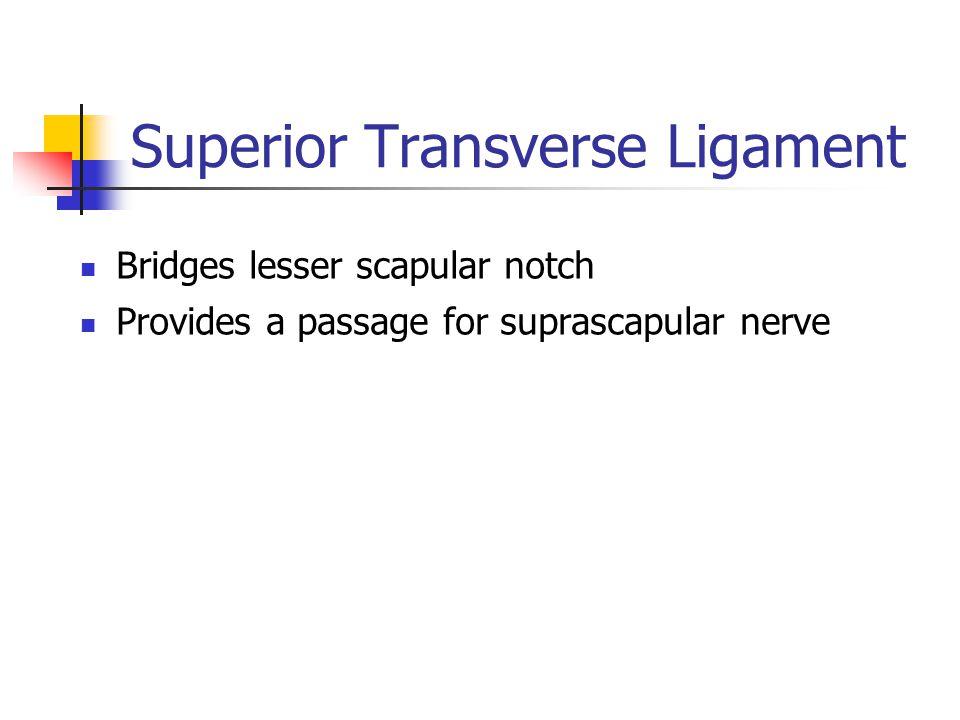 Superior Transverse Ligament