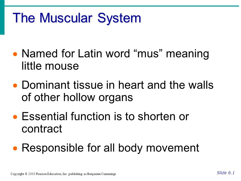 The Muscular System Named for Latin word mus meaning little mouse