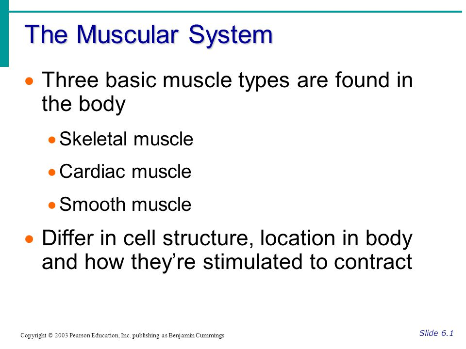 The Muscular System Three basic muscle types are found in the body