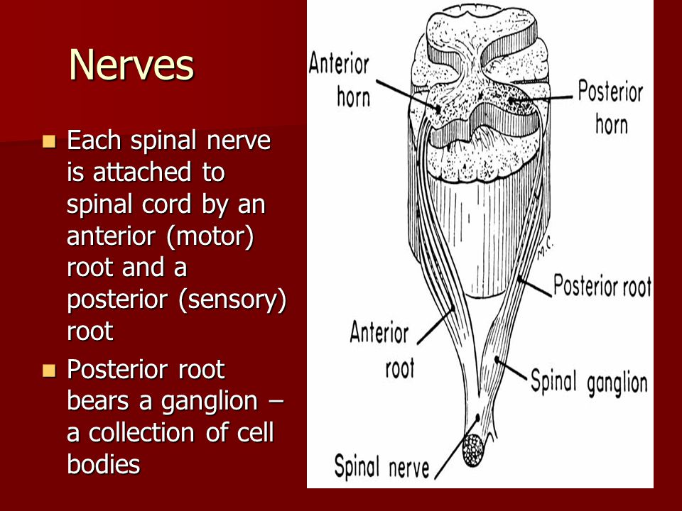 Nerves Each spinal nerve is attached to spinal cord by an anterior (motor) root and a posterior (sensory) root.