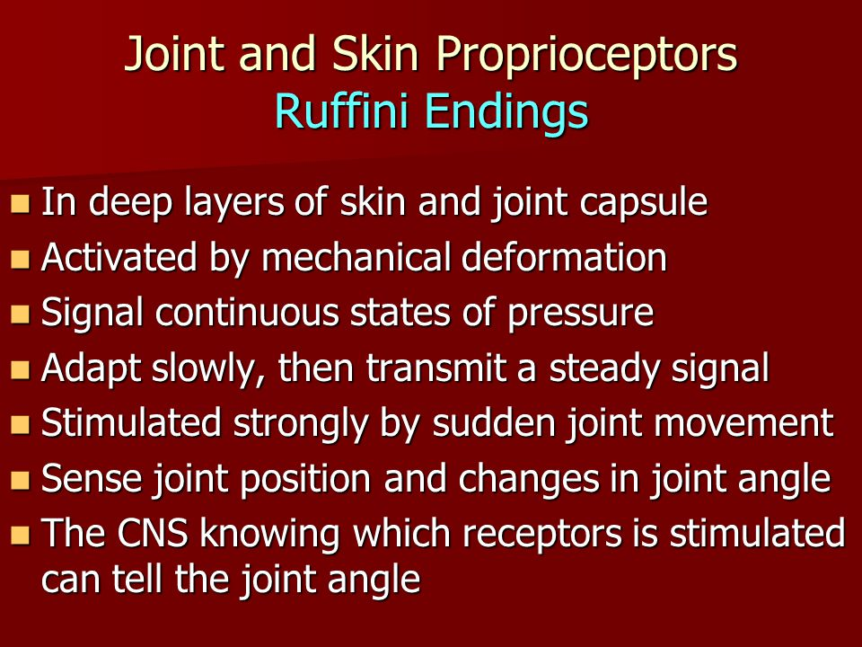 Joint and Skin Proprioceptors Ruffini Endings