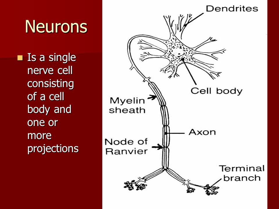 Neurons Is a single nerve cell consisting of a cell body and one or more projections