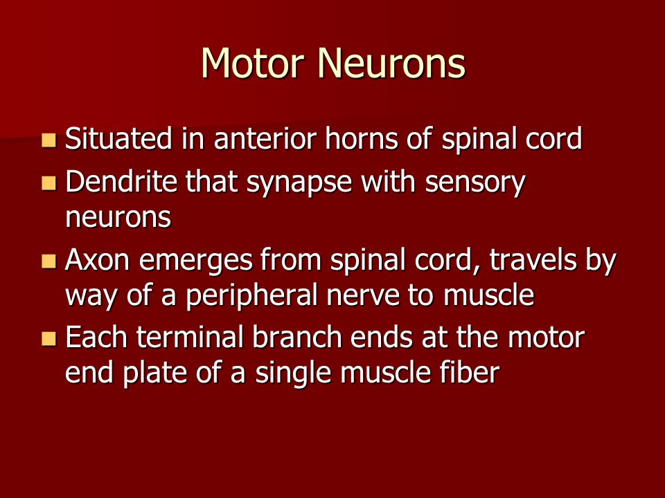 Motor Neurons Situated in anterior horns of spinal cord