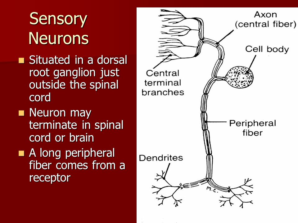 Sensory Neurons Situated in a dorsal root ganglion just outside the spinal cord. Neuron may terminate in spinal cord or brain.