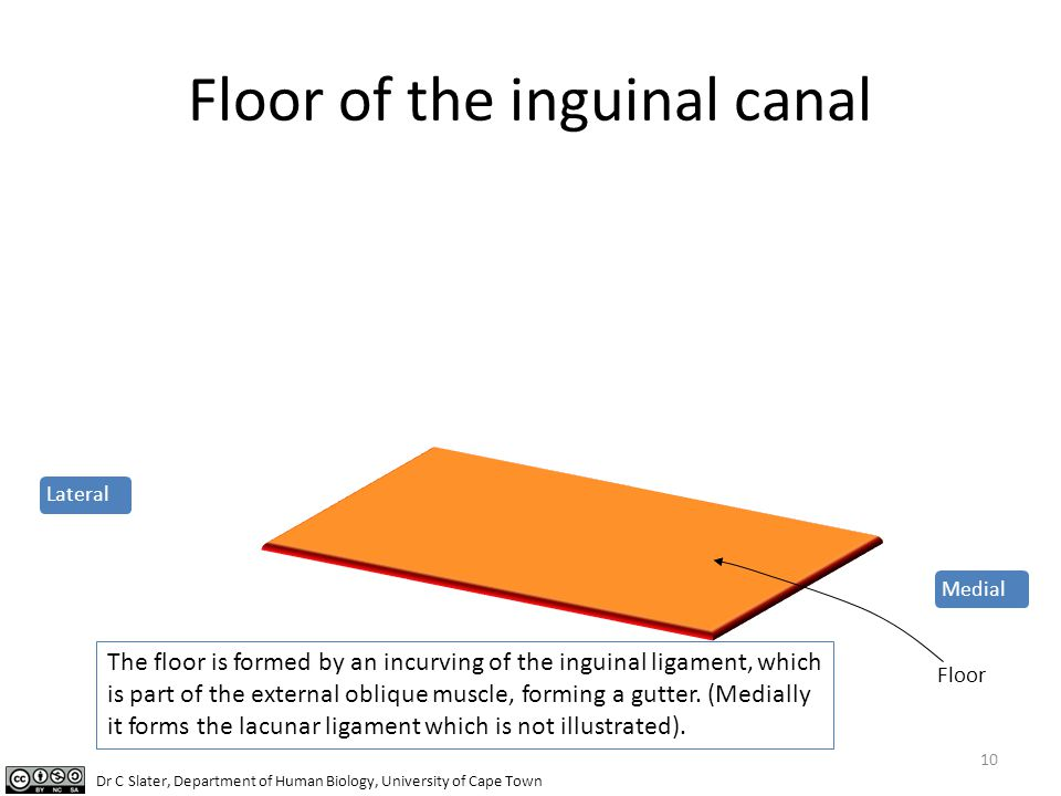 Floor of the inguinal canal