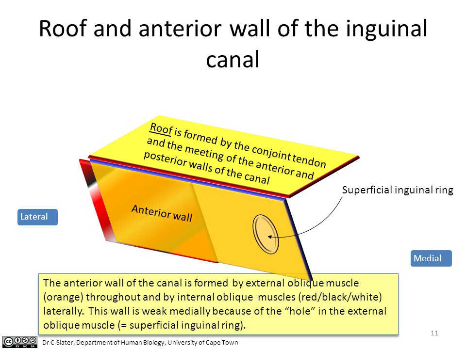 Roof and anterior wall of the inguinal canal