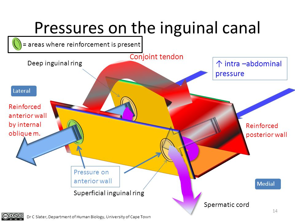 Pressures on the inguinal canal