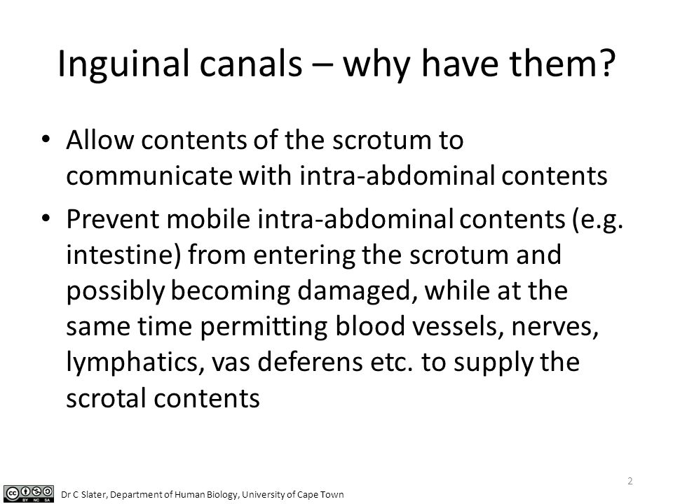 Inguinal canals – why have them