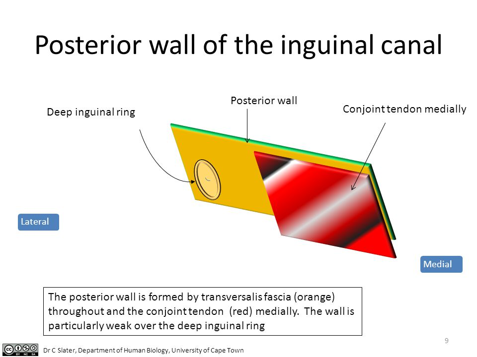 Posterior wall of the inguinal canal