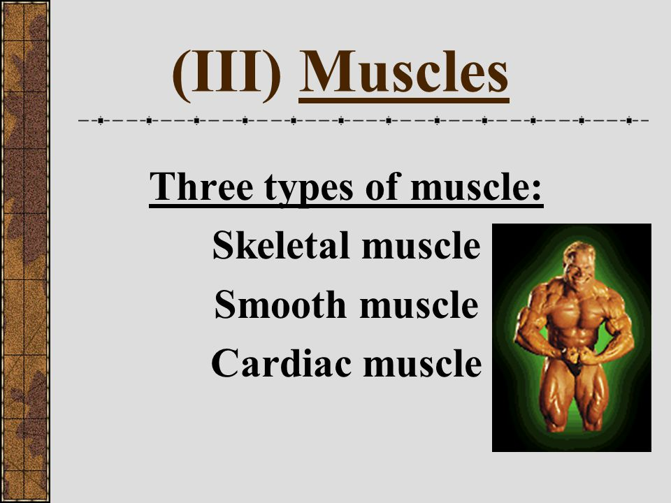 (III) Muscles Three types of muscle: Skeletal muscle Smooth muscle