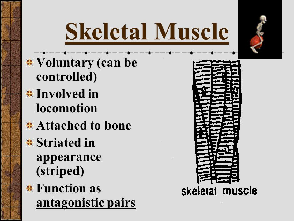Skeletal Muscle Voluntary (can be controlled) Involved in locomotion