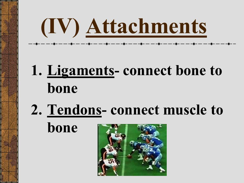 (IV) Attachments Ligaments- connect bone to bone