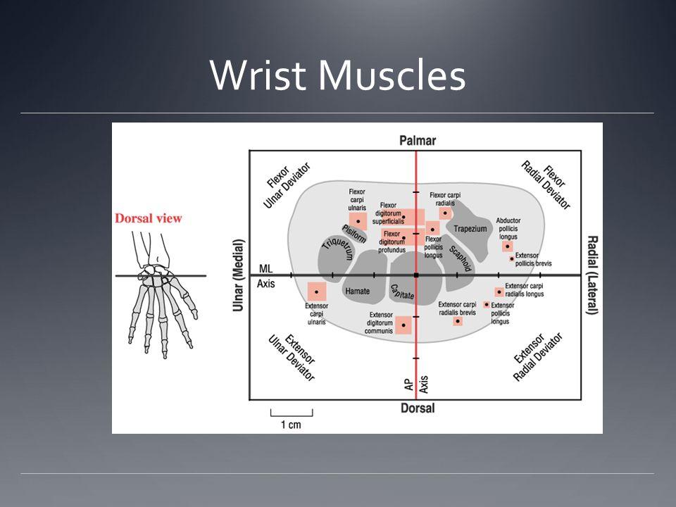 Wrist Muscles