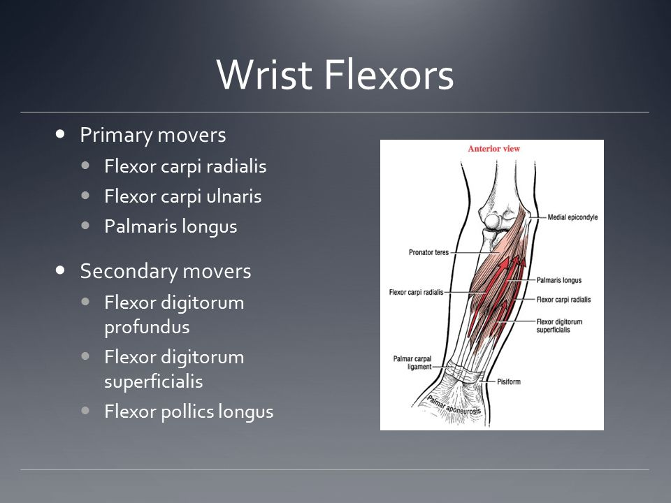 Wrist Flexors Primary movers Secondary movers Flexor carpi radialis