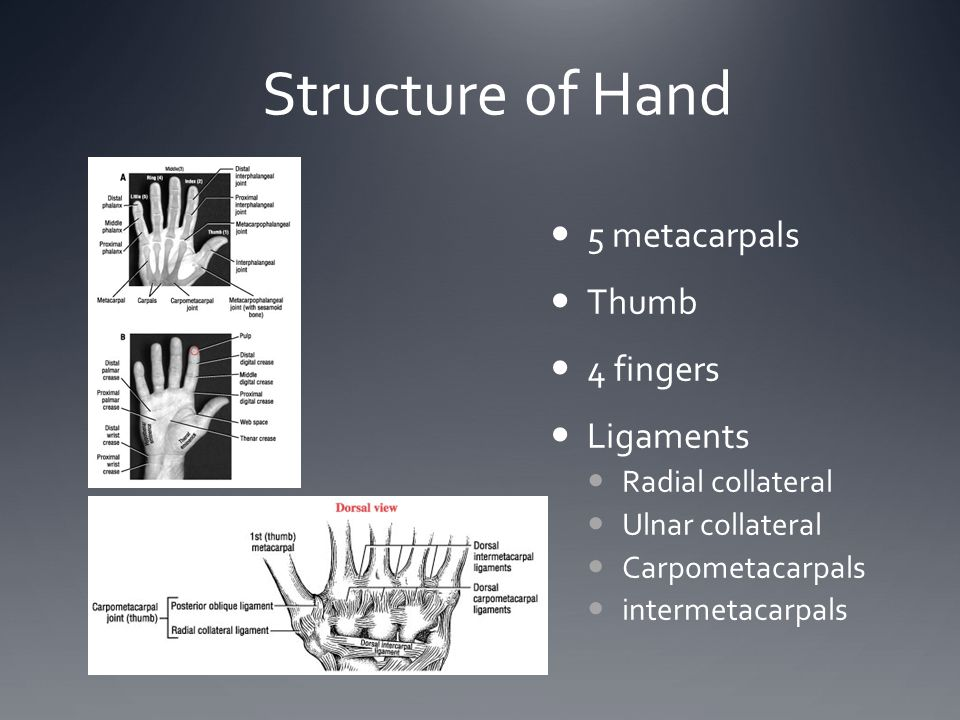 Structure of Hand 5 metacarpals Thumb 4 fingers Ligaments