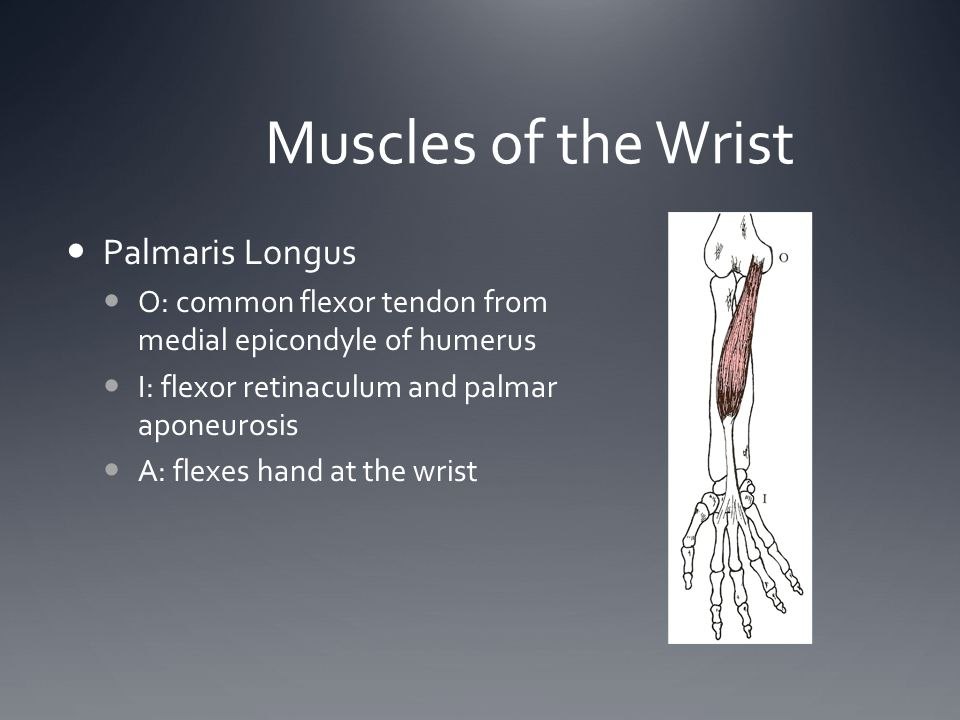 Muscles of the Wrist Palmaris Longus