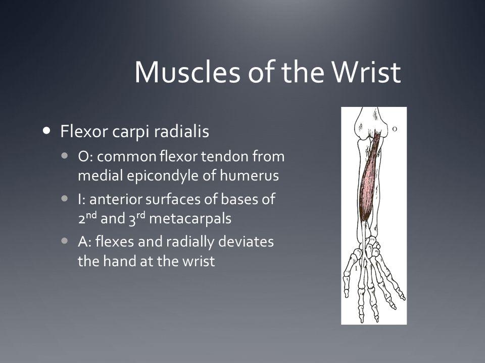 Muscles of the Wrist Flexor carpi radialis
