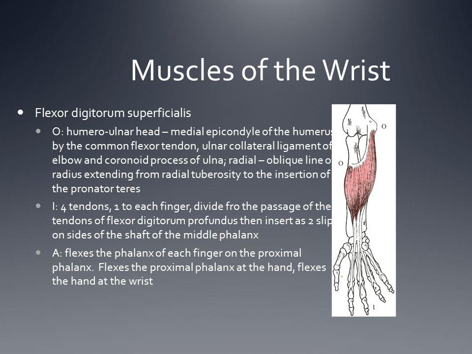 Muscles of the Wrist Flexor digitorum superficialis