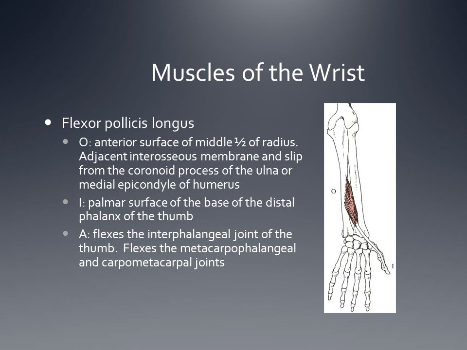 Muscles of the Wrist Flexor pollicis longus