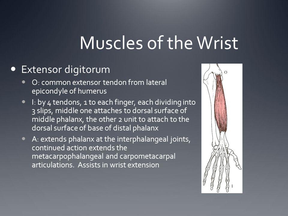 Muscles of the Wrist Extensor digitorum
