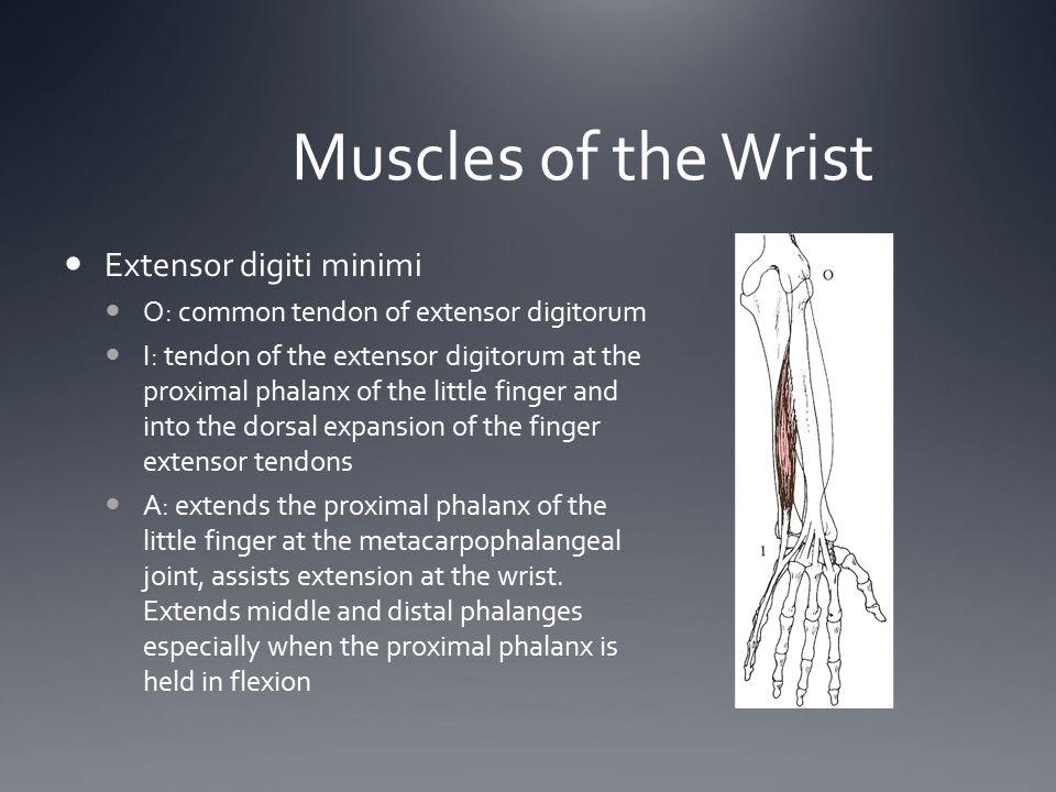 Muscles of the Wrist Extensor digiti minimi