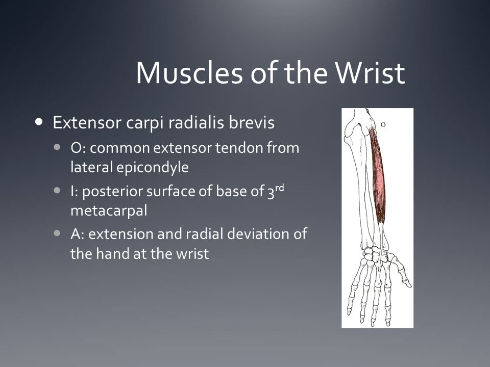 Muscles of the Wrist Extensor carpi radialis brevis