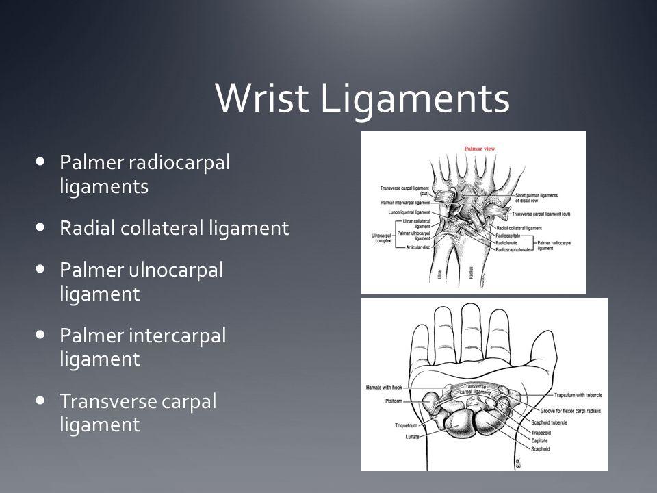 Wrist Ligaments Palmer radiocarpal ligaments