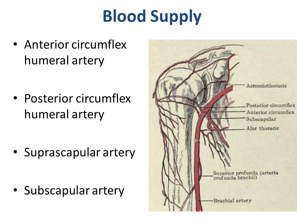Blood Supply Anterior circumflex humeral artery