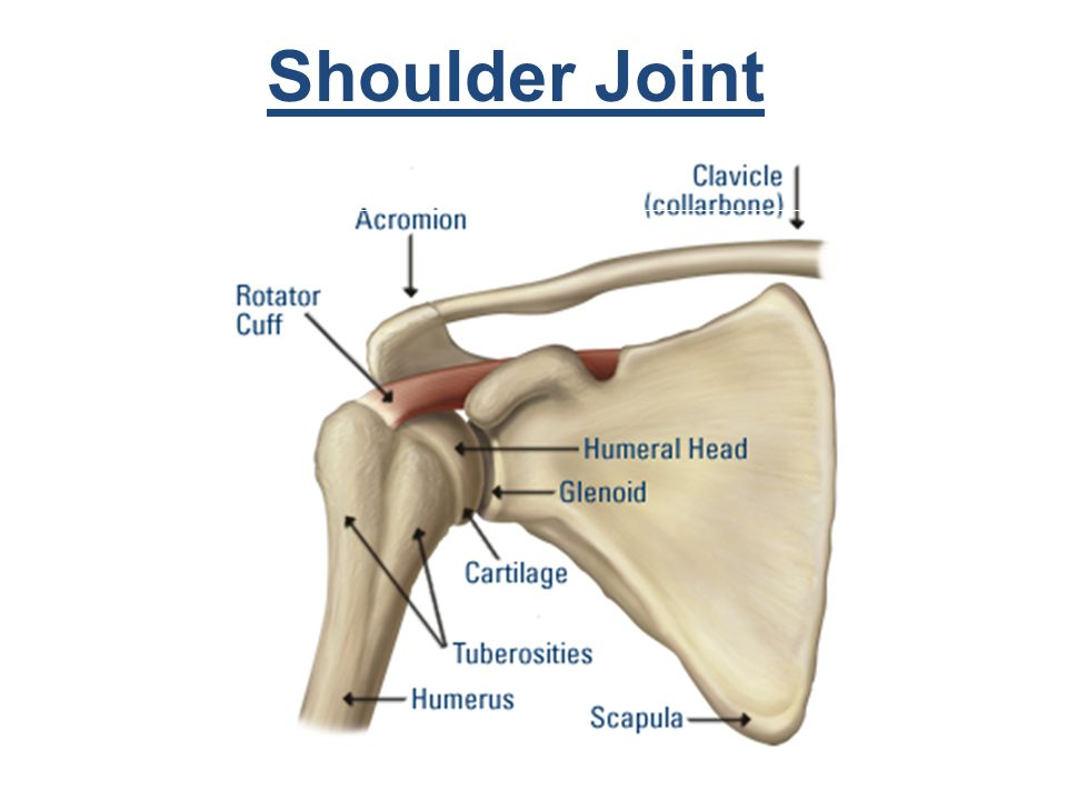 Shoulder ligament diagram