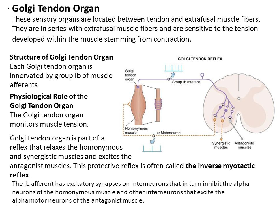 . Golgi Tendon Organ. These sensory organs are located between tendon and extrafusal muscle fibers.