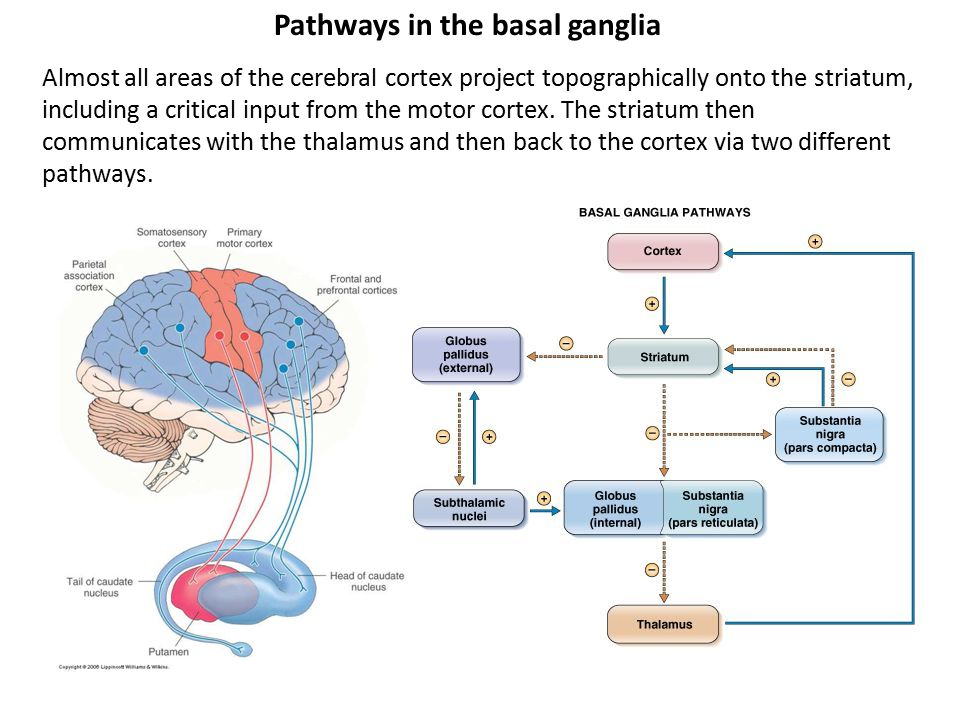 Pathways in the basal ganglia