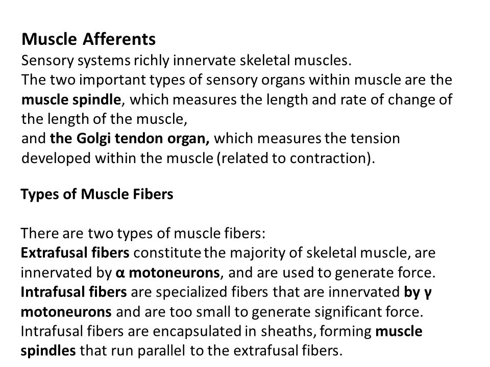 Muscle Afferents Sensory systems richly innervate skeletal muscles.