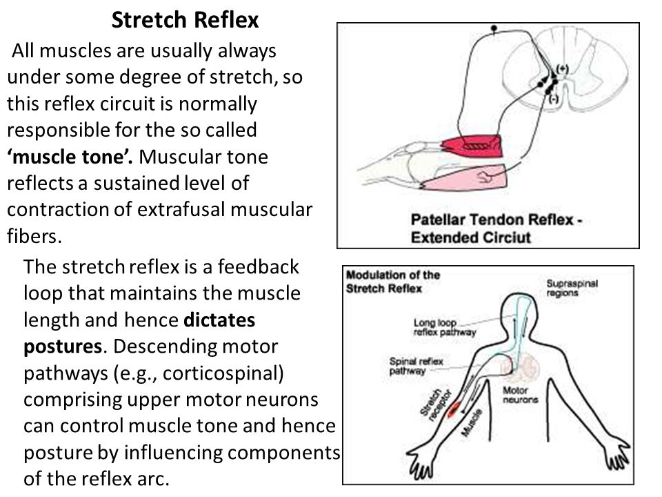 Stretch Reflex All muscles are usually always under some degree of stretch, so this reflex circuit is normally.