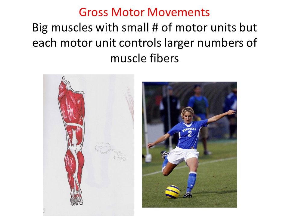 Gross Motor Movements Big muscles with small # of motor units but each motor unit controls larger numbers of muscle fibers
