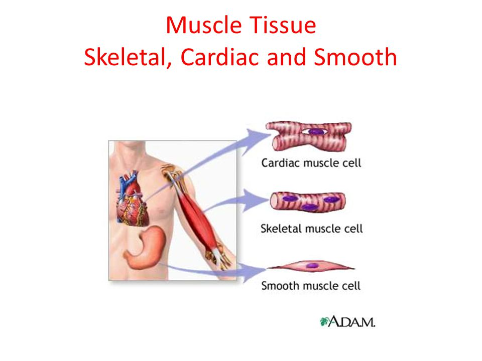 Muscle Tissue Skeletal, Cardiac and Smooth