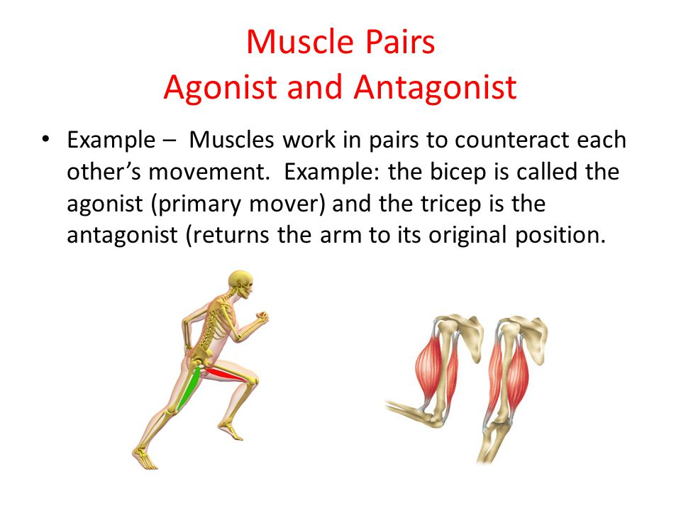 Muscle Pairs Agonist and Antagonist