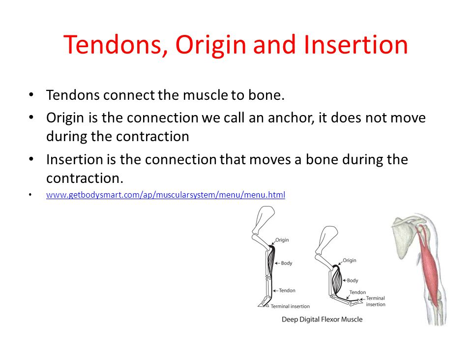 Tendons, Origin and Insertion