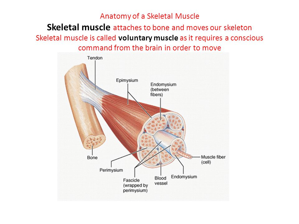 Anatomy of a Skeletal Muscle Skeletal muscle attaches to bone and moves our skeleton Skeletal muscle is called voluntary muscle as it requires a conscious command from the brain in order to move