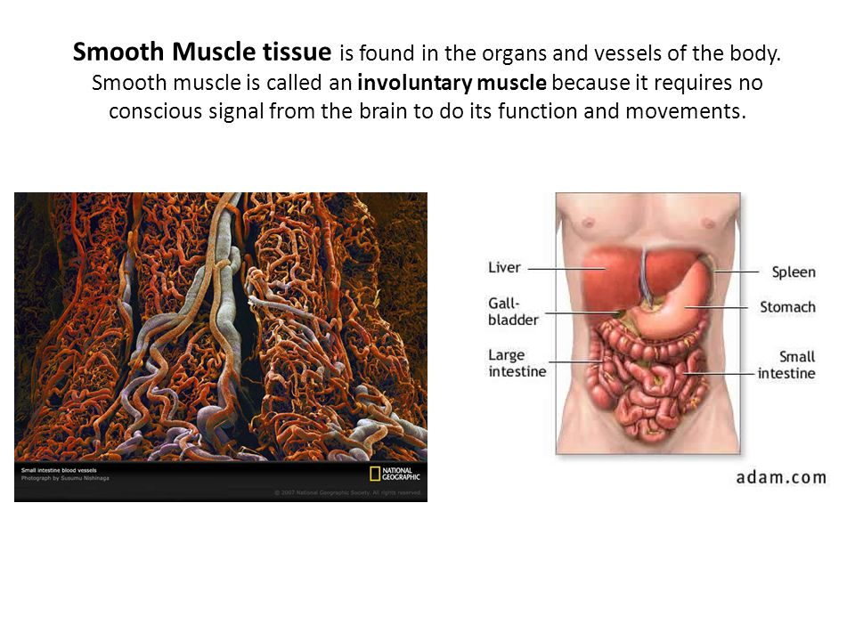 Smooth Muscle tissue is found in the organs and vessels of the body